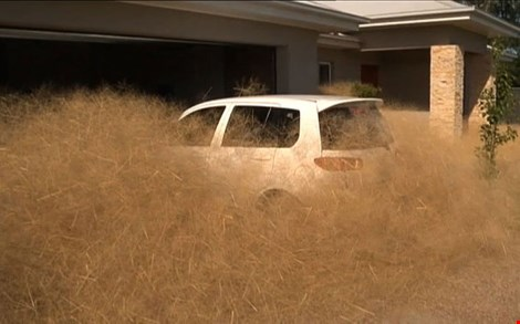 Cỏ lăn phủ kín cả ô tô (Ảnh: AFP)