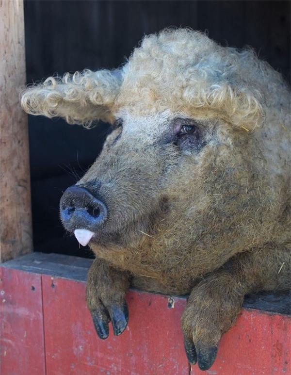 Mangalitsa là một giống lợn quý hiếm có nguồn gốc ở Hungary.