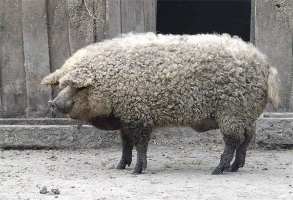 Loài này sở hữu một bộ lông xoăn dày ngang ngửa loài cừu.