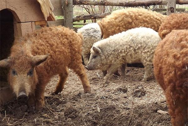 Mangalitsa là thuộc top những giống lợn béo nhất thế giới.