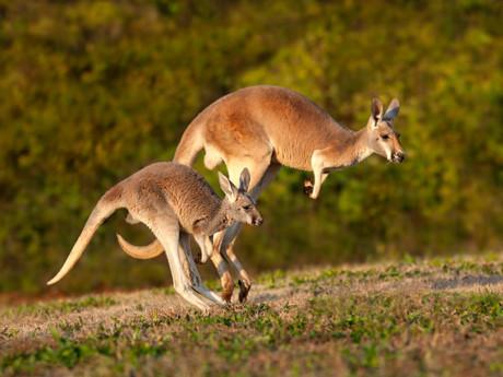 Chuột túi Kangaroo.