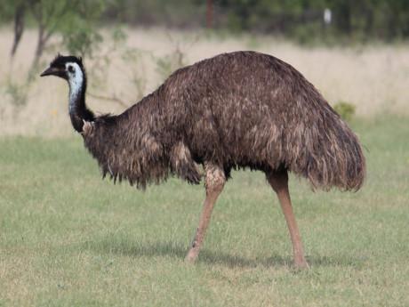 Đà điểu châu Úc.