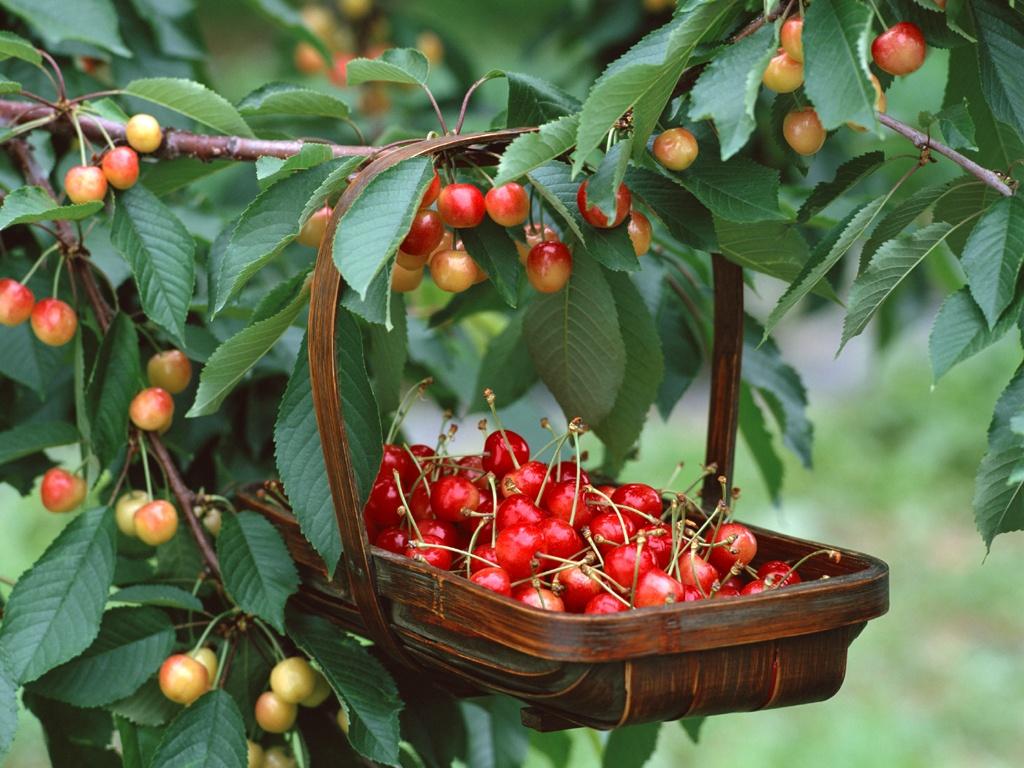 Kết quả hình ảnh cho hái trái cây tại úc