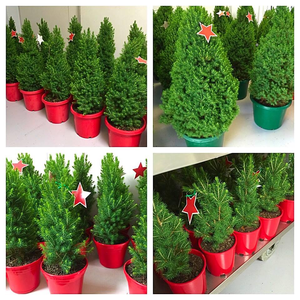 Merlino's Christmas Trees - Ở Sydney thì mua cây thông Giáng Sinh ở đâu?