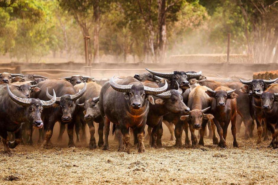 n trâu được tập hợp ở Arnhem Land tại vùng Northern Territory. - Những hình ảnh về động vật Úc đẹp nhất năm 2017