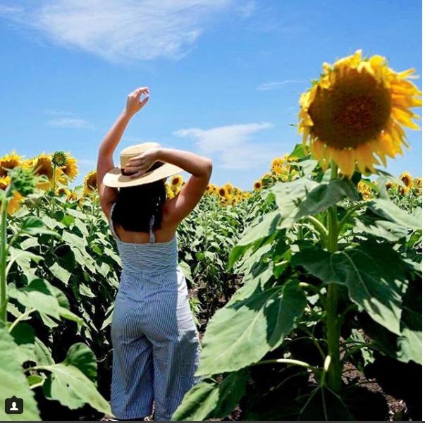 """11 1 - """"Sống ảo"""" cùng vườn hoa hướng dương dài tới 50km ở Queensland"""