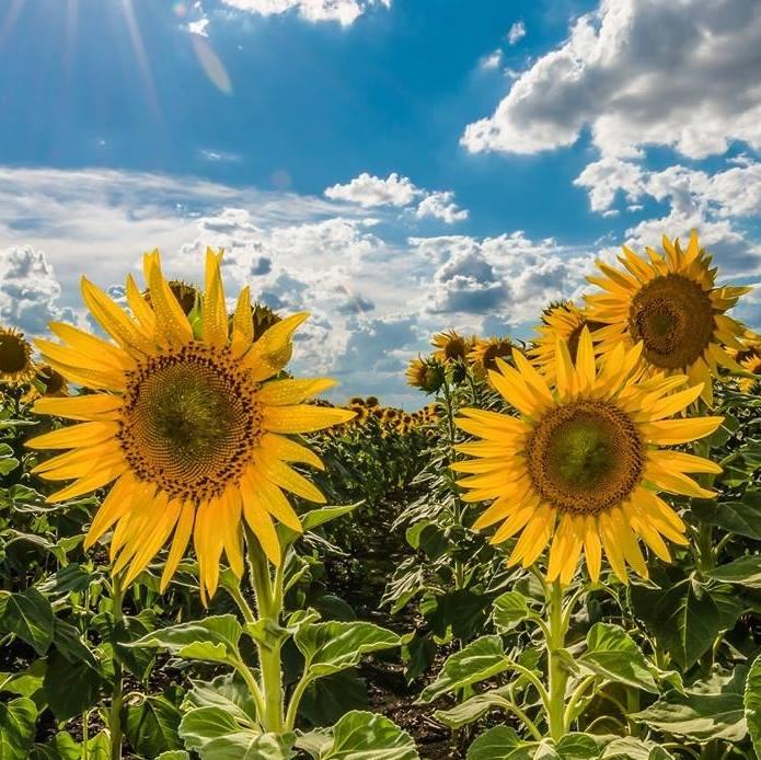 """15094257 1288226337894119 740250316555908596 n - """"Sống ảo"""" cùng vườn hoa hướng dương dài tới 50km ở Queensland"""