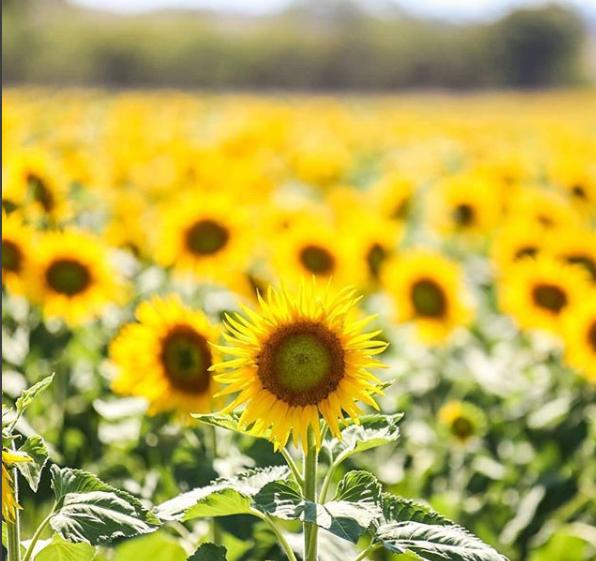 """Capture 9 - """"Sống ảo"""" cùng vườn hoa hướng dương dài tới 50km ở Queensland"""