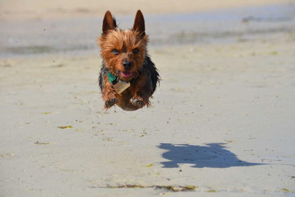 Chú chó nhỏ đang thích thú chơi đùa trên bãi biển Coffin Bay South Australia. - Những hình ảnh về động vật Úc đẹp nhất năm 2017