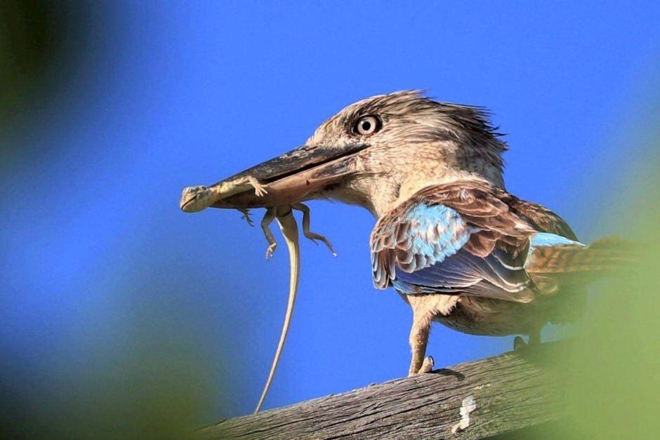 Chú chim kookaburra cánh xanh đang nghỉ ngơi trên một nhánh cây sau khi bắt được một chú thằn lằn. - Những hình ảnh về động vật Úc đẹp nhất năm 2017