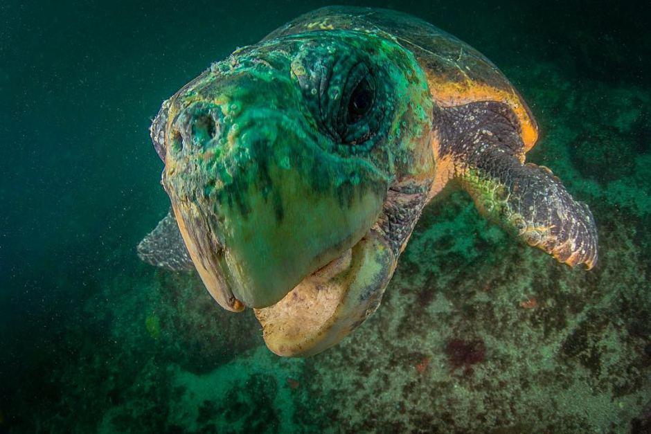 Chú rùa đang dạo chơi đang tò mò với ống kính của nhiếp ảnh gia tại Julian Rocks off Byron Bay vùng northern NSW. - Những hình ảnh về động vật Úc đẹp nhất năm 2017