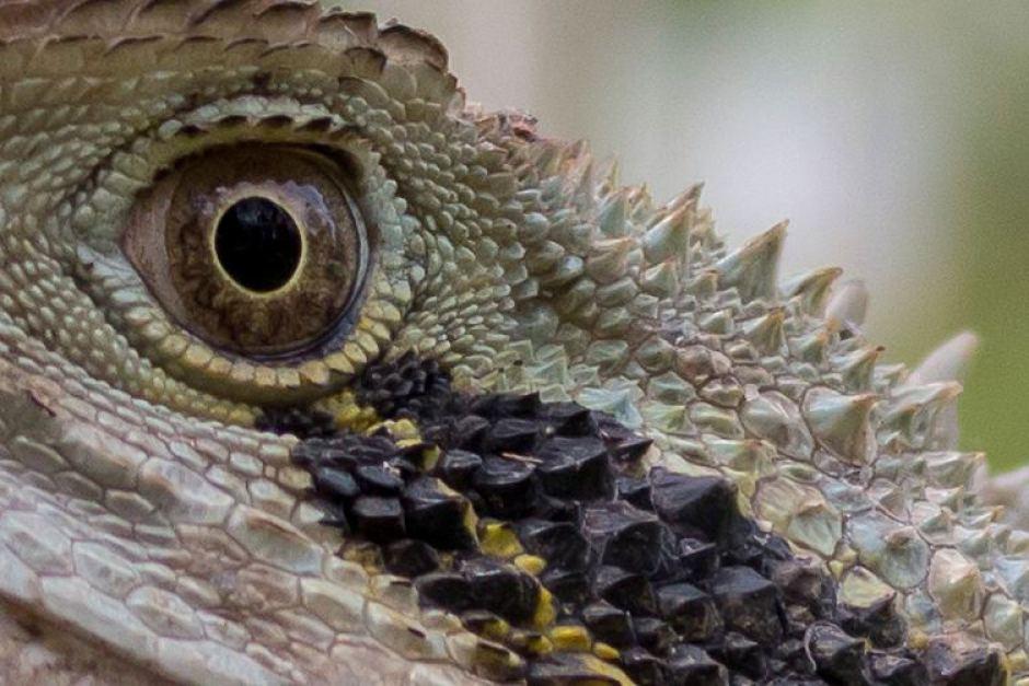 Loài rồng nước phương Đông này là loại bò sát được coi là xuất hiện cùng thời với cá xấu khoảng 20 triệu năm trước. Bức ảnh được chụp tại Moreton Island Queensland. - Những hình ảnh về động vật Úc đẹp nhất năm 2017