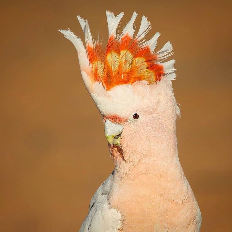 Loại vẹt đẹp nổi tiếng Major Mitchell cockatoo tại Cunnamulla vùng western Queensland đang cố vươn đầu cao lên để khoe thêm màu sắc. - Những hình ảnh về động vật Úc đẹp nhất năm 2017