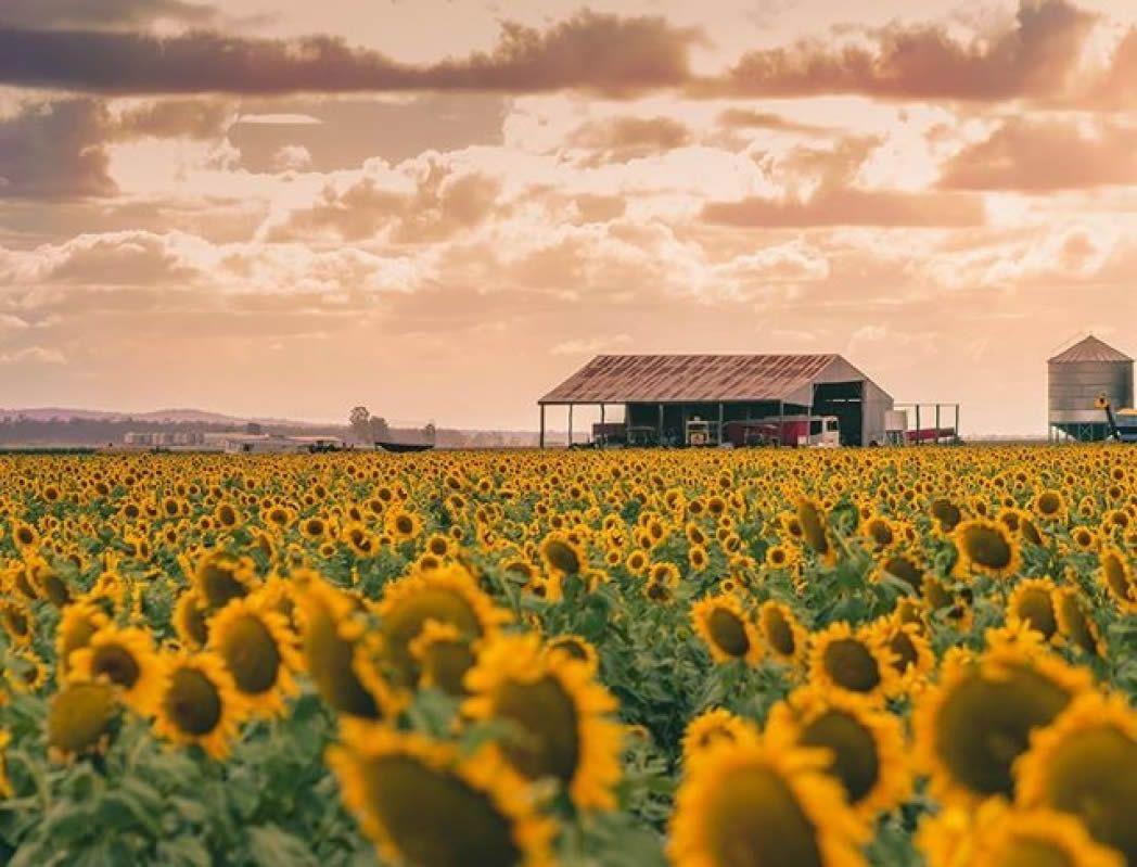 """mikayla cover allora sqc 1048x799 - """"Sống ảo"""" cùng vườn hoa hướng dương dài tới 50km ở Queensland"""