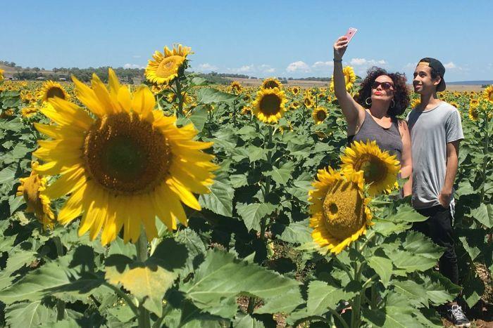 """queensland du khach dam chim trong mua hoa huong duong o allora 1 - """"Sống ảo"""" cùng vườn hoa hướng dương dài tới 50km ở Queensland"""