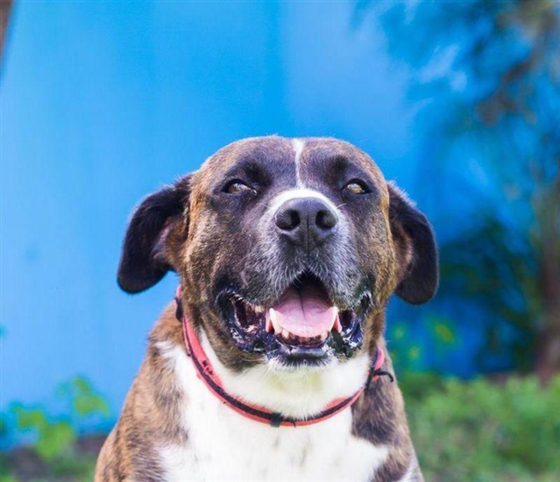 Francis an American Staffordshire bull terrier.boxer Queensland. RSPCA - RSPCA giảm mạnh phí nhận thú nuôi vào dịp cuối tuần