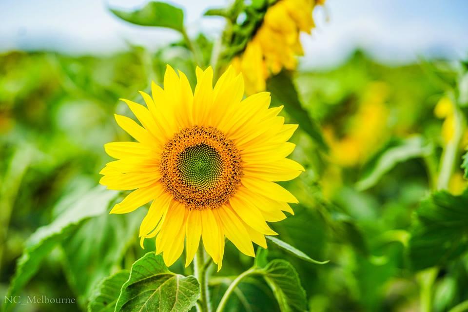 28471495 10212079391519848 192876894670375144 n - Rực rỡ cánh đồng hoa hướng dương ở Victoria