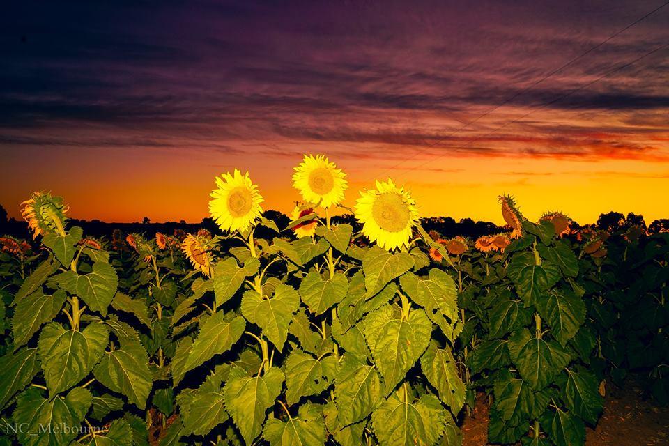 28577606 10212079664286667 2188645982603205881 n - Rực rỡ cánh đồng hoa hướng dương ở Victoria