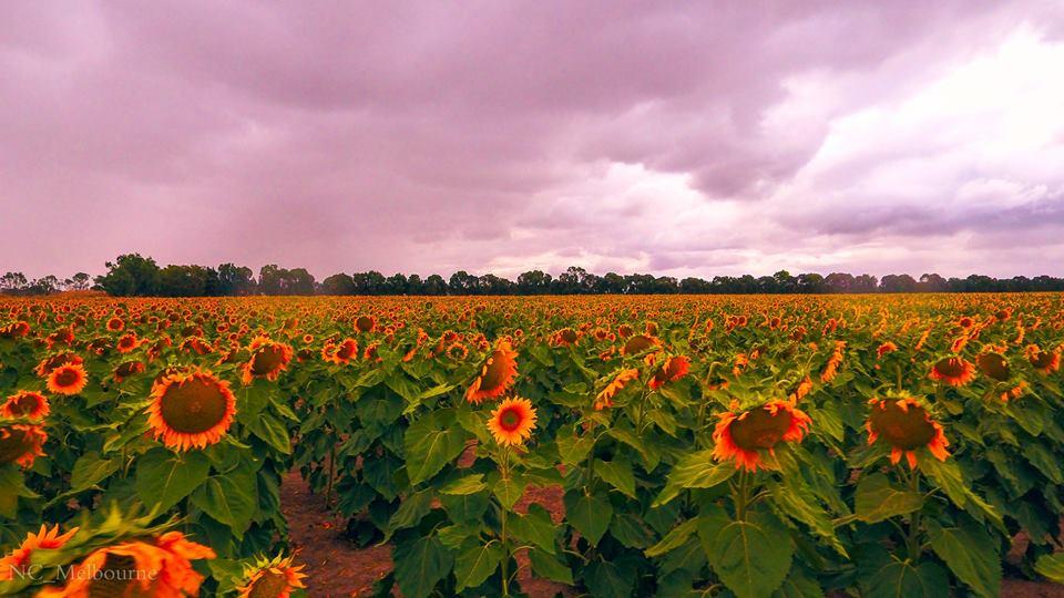 28661214 10212079663806655 338677867061097881 n - Rực rỡ cánh đồng hoa hướng dương ở Victoria