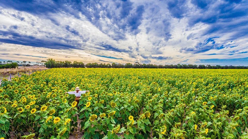 28685633 10212079391239841 6250176370893523198 n - Rực rỡ cánh đồng hoa hướng dương ở Victoria