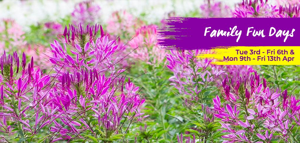 yH5BAEAAAAALAAAAAABAAEAAAIBRAA7 - Đừng bỏ lỡ Lễ hội hoa mùa Thu Tesselaar Kabloomlớn nhất ở Victoria 2018