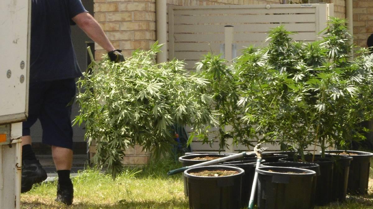 cần sa - Những điều cần biết về thuốc phiện, ma túy ở Úc