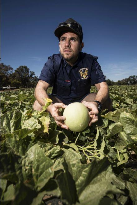 yH5BAEAAAAALAAAAAABAAEAAAIBRAA7 - Tây Úc: Ế hàng trăm tấn dưa vàng do người mua sợ nhiễm listeria