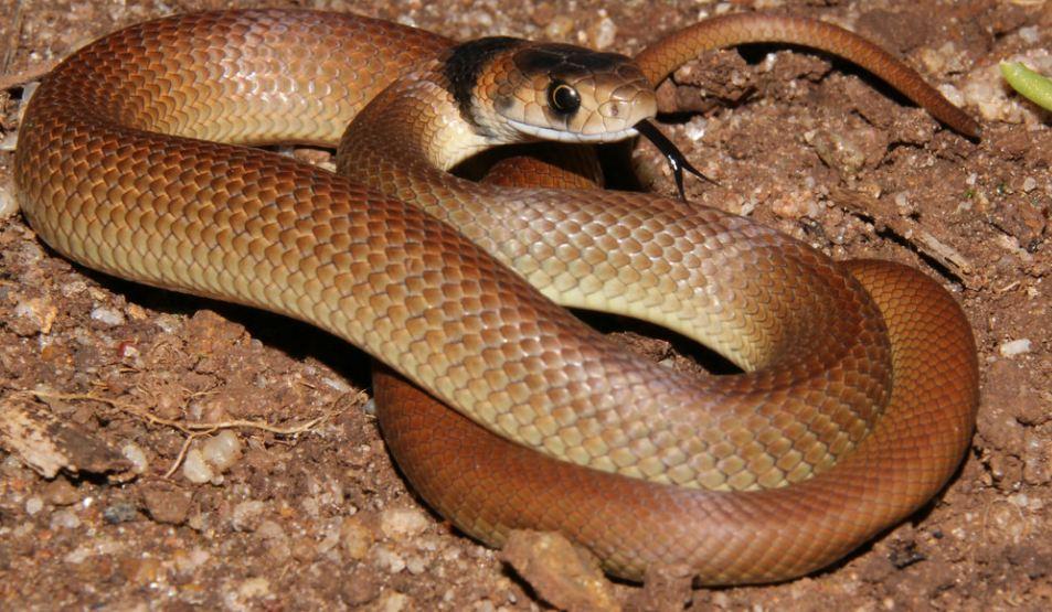 common brown snake images - Người đàn ông Úc tử vong ngay trước mặt gia đình do bị rắn nâu cắn