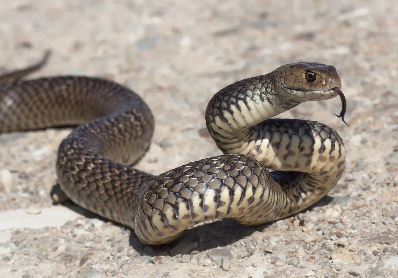Watch out for 'hungry and frisky' snakes