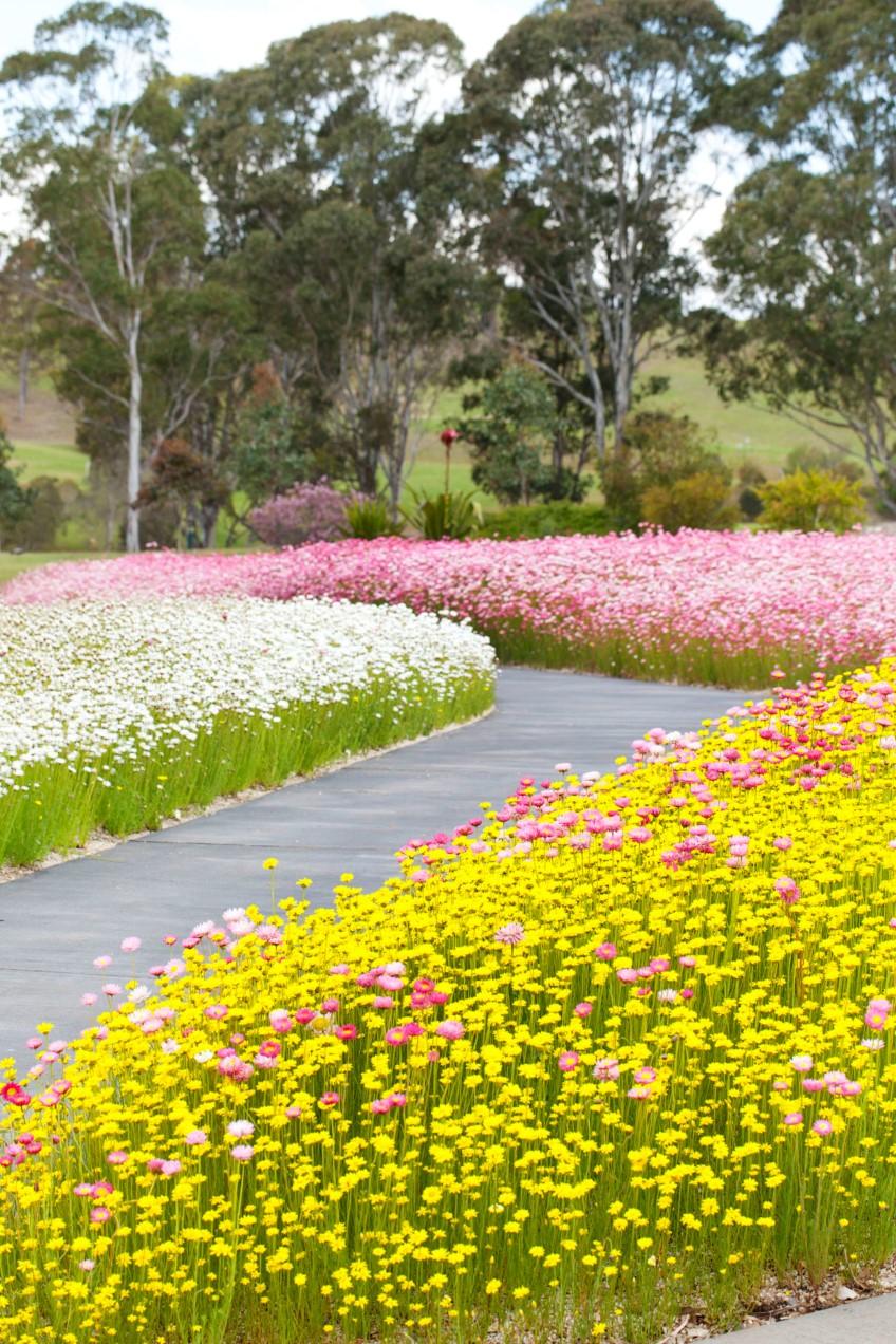 paper daisy Australian Botanic Garden2 - 'Sống ảo' với vườn hoa cúc giấy mùa xuân siêu lung linh ở NSW