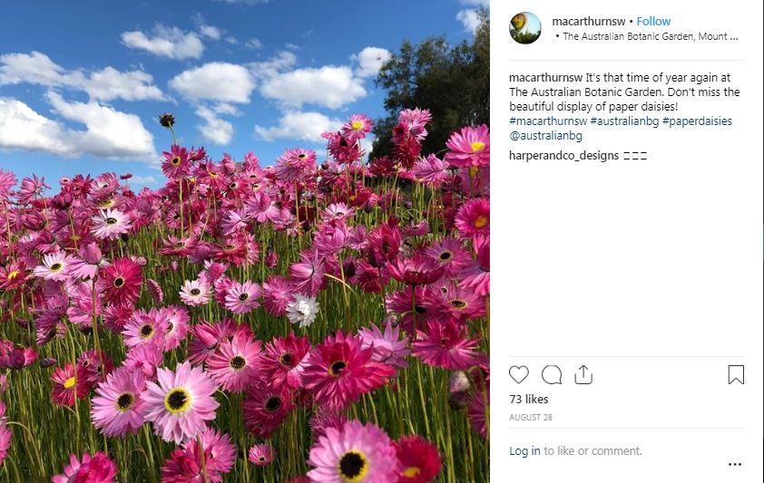 paper daisy Australian Botanic Garden4 - 'Sống ảo' với vườn hoa cúc giấy mùa xuân siêu lung linh ở NSW