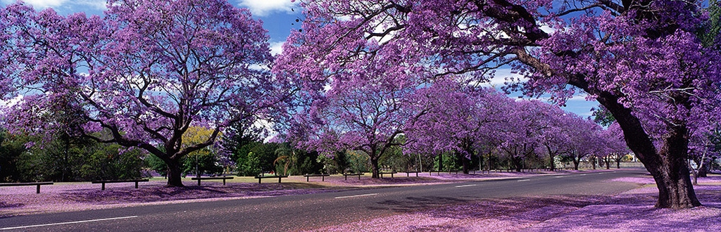 Flowering-of-Jacaranda