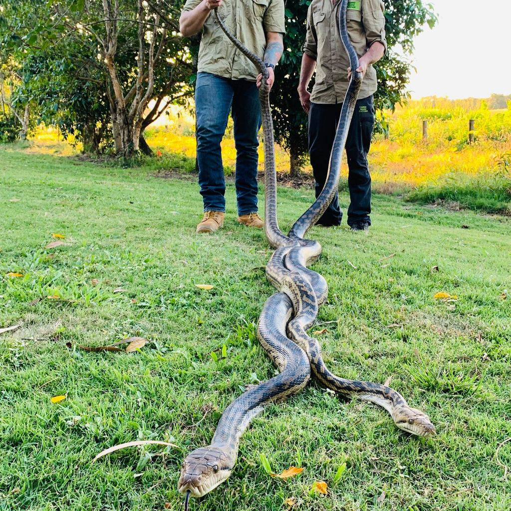 pythons found fighting in family's roof queensland